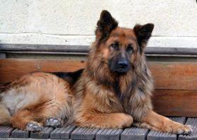 5-generation-pedigree-german-shepherd-puppies-51f7f71809588